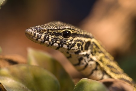 seemingly: Lizard raising up seemingly saying look at me