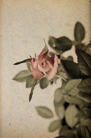 Rose on paper 版權商用圖片