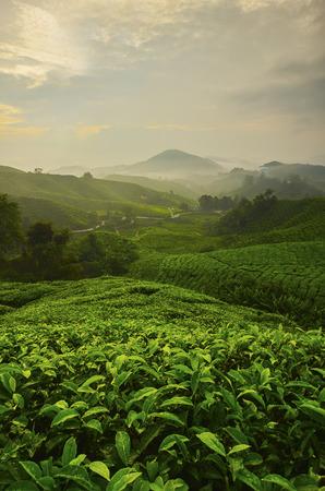 マレーシアのキャメロン ・ ハイランド、茶谷と日の出の上に視点。