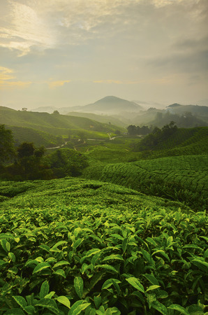 planta de cafe: Punto de vista en la parte superior de las tierras altas de Cameron, valle del té y la salida del sol en Malasia.