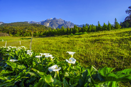kinabalu: Beautiful fresh white flower in the morning with majestic mount kinabalu and blue sky at background