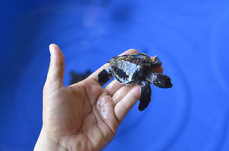 newly: Hand holding newly hatched baby turtle.