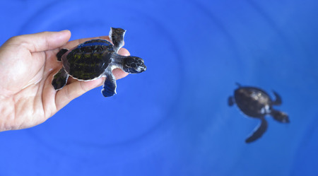 newly: Newly hatched baby turtle on blue background Stock Photo