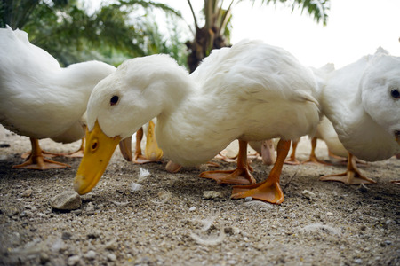 black feathered: A group of white duck looking for a food