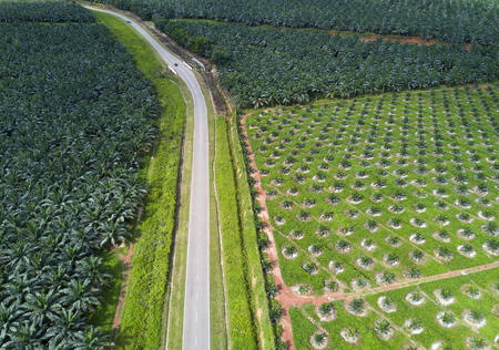 Arial view of oil palm plantation on east Asia. 免版税图像 - 78589449