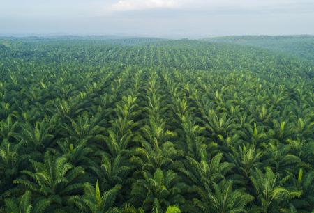 Arialmening van palmaanplanting in Oost-Azië. Stockfoto