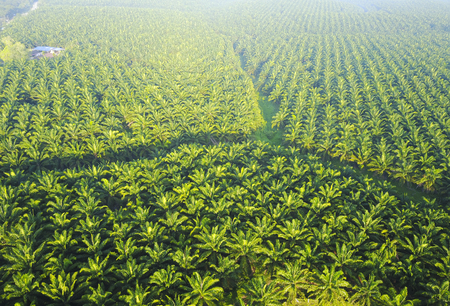 Arial view of palm plantation at east asia