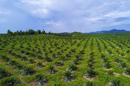 arial view: Arial view of oil palm plantation on east Asia.