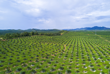 Arial view of oil palm plantation on east Asia. Stock Photo - 82990333