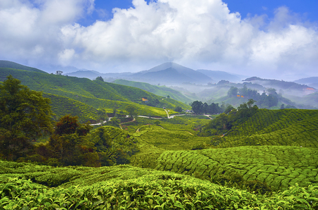 Beautiful sunrise view at Tea Plantation, Cameron Highland 스톡 콘텐츠
