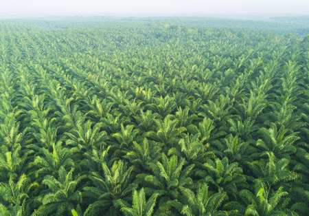 Arial view of palm plantation at east asia.