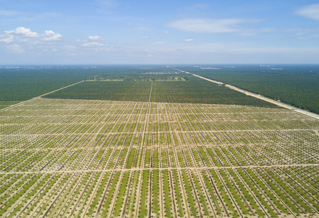 Aerial view of palm plantation with dramatic blue sky at background
