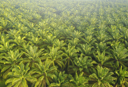 Aerial view of Palm Plantation at South East Asia