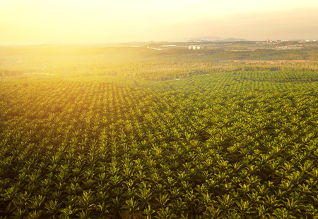Aerial view of green palm plantation during sunset.