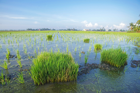 Young green paddy seed over blue sky background Stock Photo