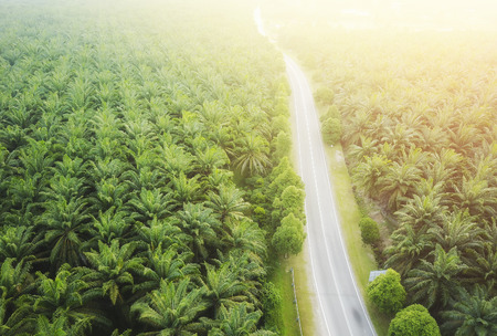 Aerial view on plantation of palm trees background, Top view aerial shot of the palm grove. Stock Photo