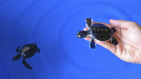 Man holding a newborn Baby Olive Ridley sea turtle