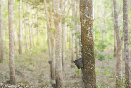 Rubber Latex extracted from rubber tree , (Hevea Brasiliensis) as a source of natural rubber