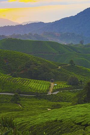 Beautiful sunrise over green tea plantation Stock Photo