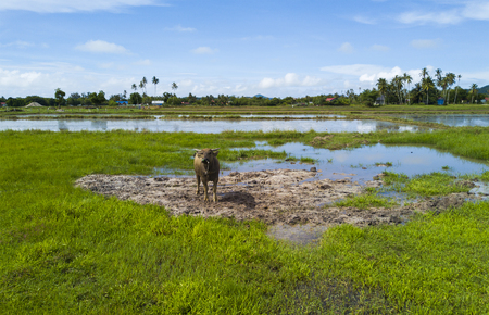 A buffalo on green paddy field with beautiful blue sky at background