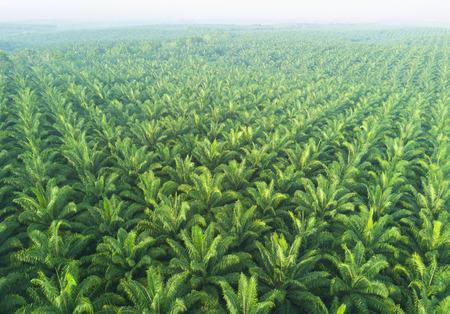 Luftaufnahme der Palmenplantage in Ostasien.