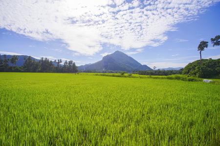 在一个绿色稻田的早晨阳光。