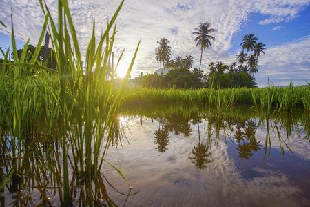 Morning sunlight in a green paddy field . 版權商用圖片