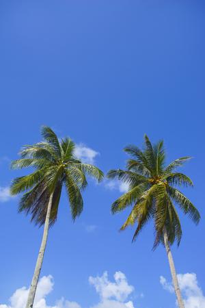 Twin coconut tree over blue sky Stock Photo