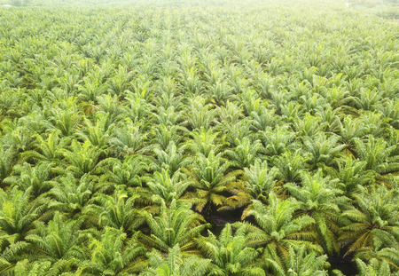 Aerial view of palm oil plantation in Asia.