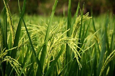 rice field: Rice field in Yangshou