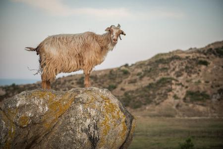 Wild goat on rock