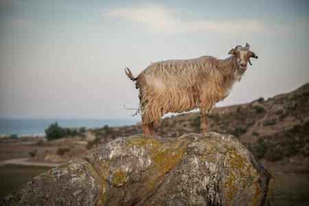 mountin: Wild goats on rocks and stones on mountin