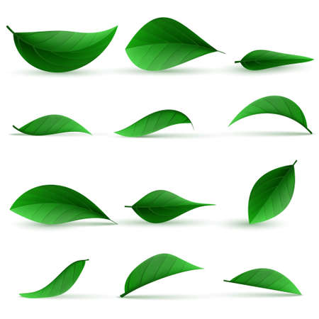 Realistic green tea leaves. Green tea leaf, natural freshness illustration. Realistic 3d detailed green tea leaves set. Vector illustration