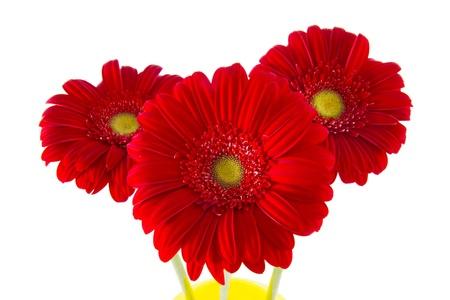 three red gerbera flower on a light background photo