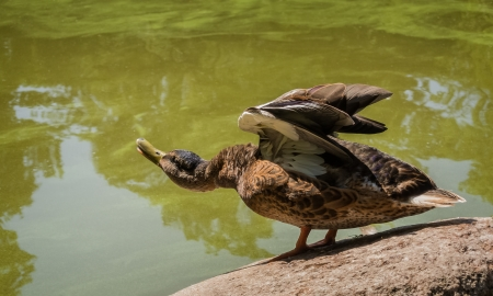 elongated: duck with raised wings and an elongated neck Stock Photo