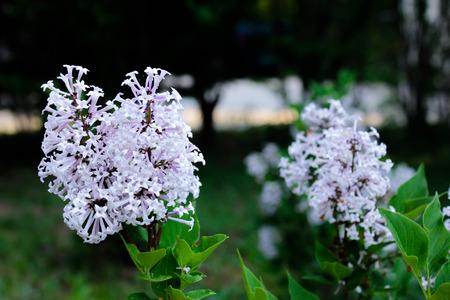 Lilac bloooms Reklamní fotografie