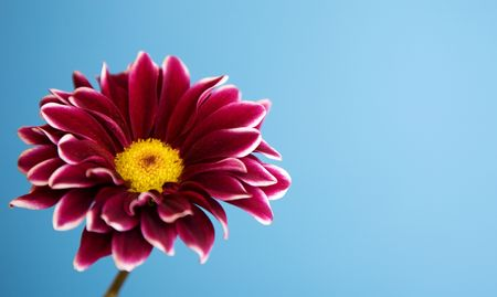 sidelight: a burgundy flower with white tipped petals on an auqua background