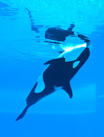 killer whale in underwater viewing photo