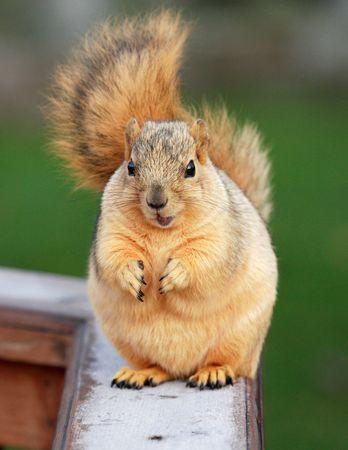 nut trees: Cute Blond Fox Squirrel