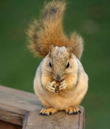 Cute Chubby Blond Fox Squirrel Eating a Walnut photo