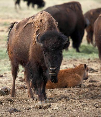 Smiling Buffalo Stock Photo - 3003057
