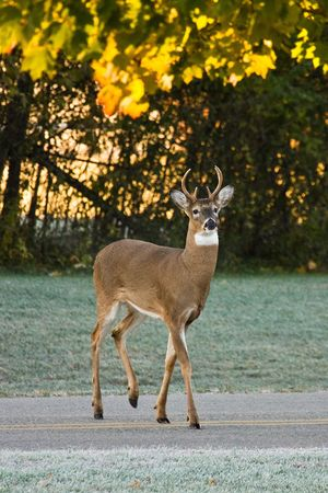 Whitetail Buck Deer Crossing Busy Road in Daylight