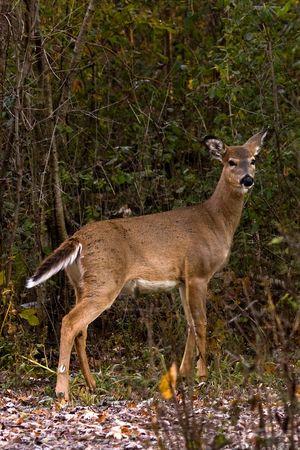 Posing Whitetail Doe Deer Pointing It's Tail Banco de Imagens