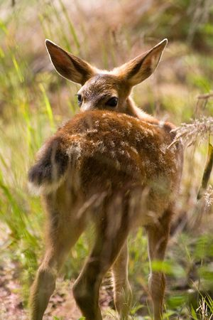 Shy Blacktail Fawn Deer In Wooded Area