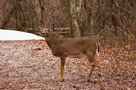 Posing Whitetail Buck Deer  Banco de Imagens