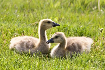 Cute Baby Goslings Laying Next To Each Other Stock fotó
