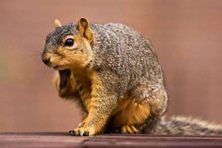 Fox Squirrel Scratching an Itch On Park Bench  Stock Photo