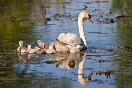 Adult Mute Swan and Baby Cygnets In Pond Stock Photo