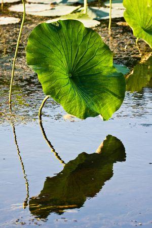 erie: American Lotus Leaf In Natural Lake Erie Wetlands