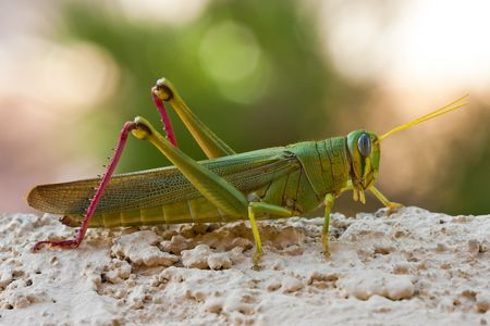 phylum: Green Grasshopper Locust Insect With Long Antennae